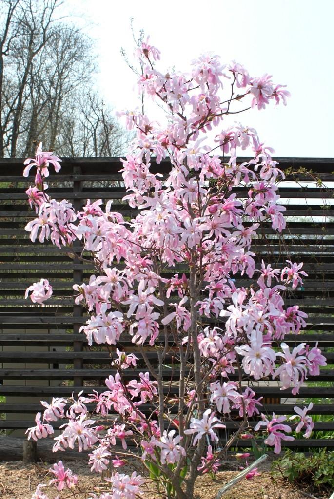 Magnolia v květu
