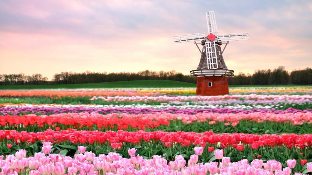 holandsko cibuloviny